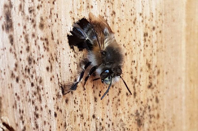 Wildbiene an einer Nisthilfe von AITRACH BRUMMT